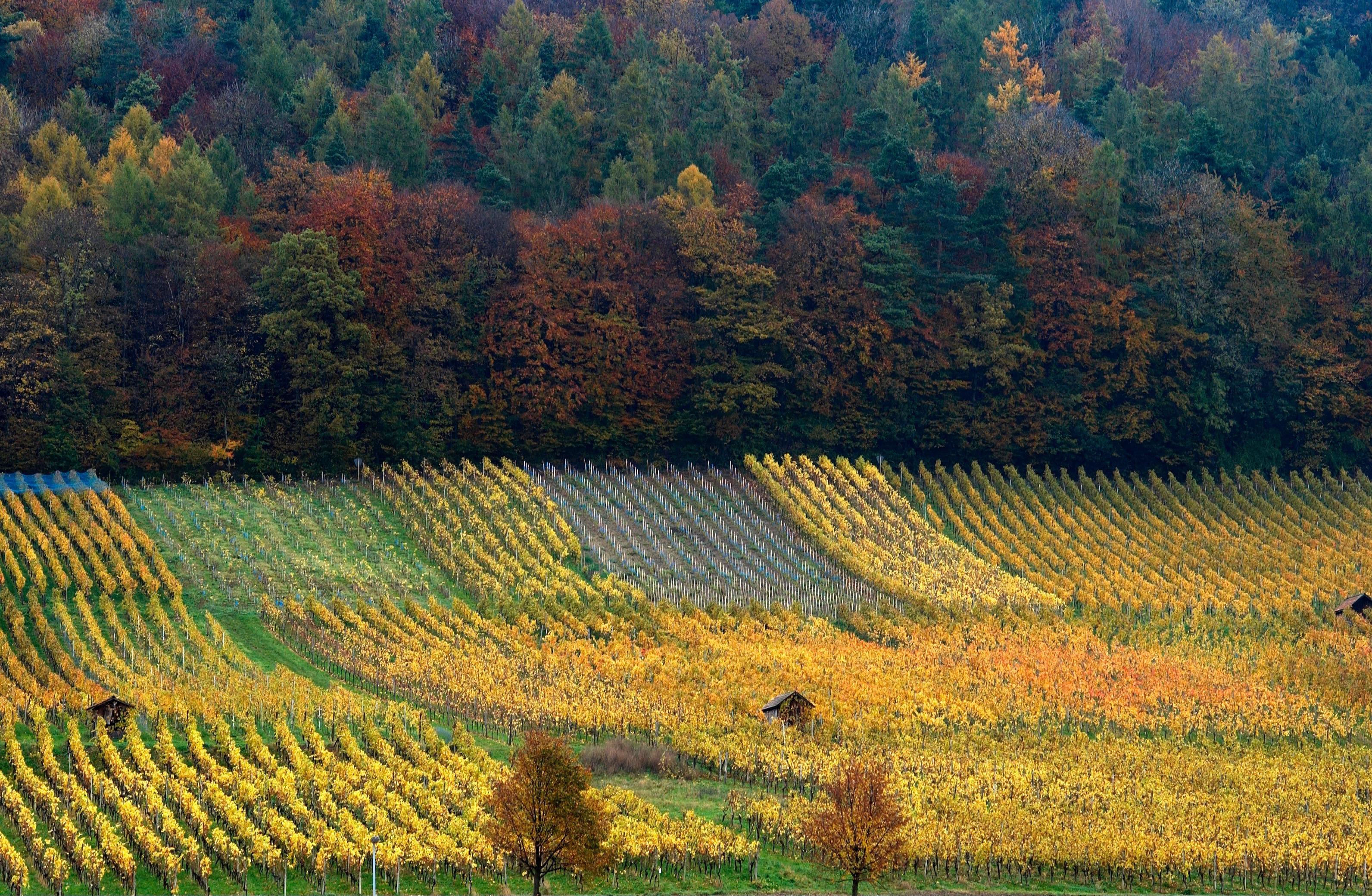 Swisswine Schweizer Weine Deutschschweiz Zurich Weinigen Herbst Weinberg (weingut-haug.ch)