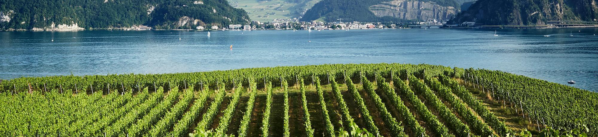 Landschaft Reben am See
